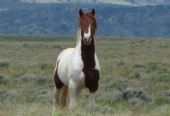 Basin Stallion - WY
