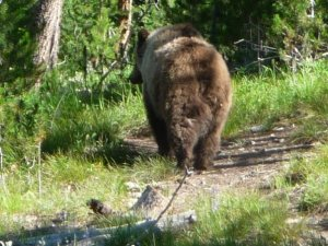 Grizzly Bear Near Yellowstone Park